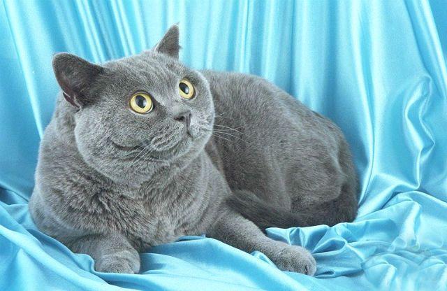 Британская кошка - короткошерстная