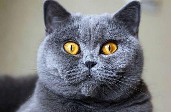 Британская кошка - морда