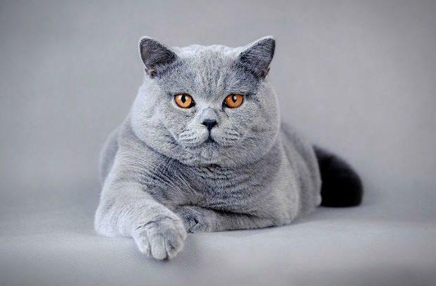 Британская кошка с янтарными глазами