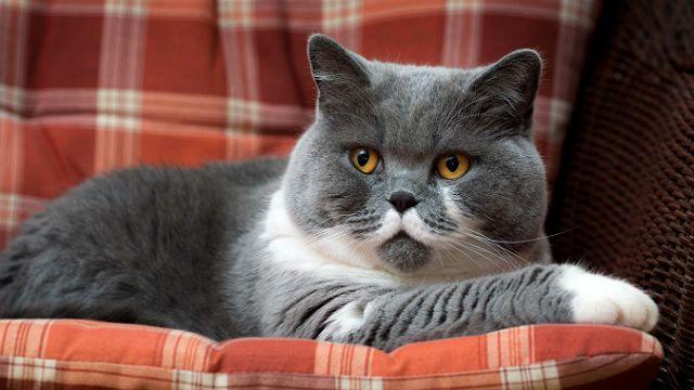 Британская кошка лежит