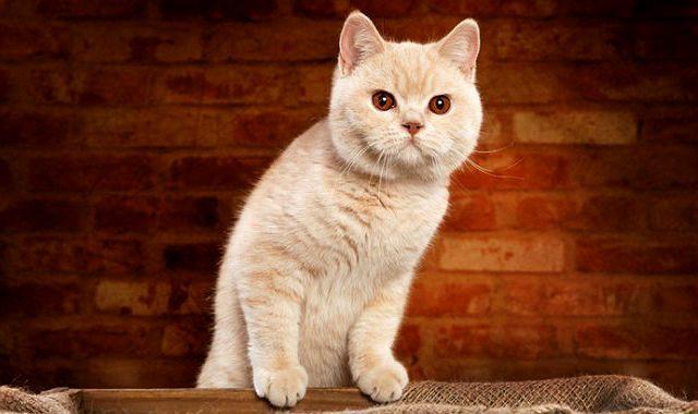 Британская кошка - активность