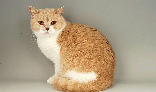 Британская кошка рыжего окраса