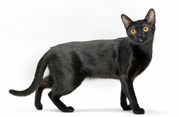 Бомбейская кошка черного окраса
