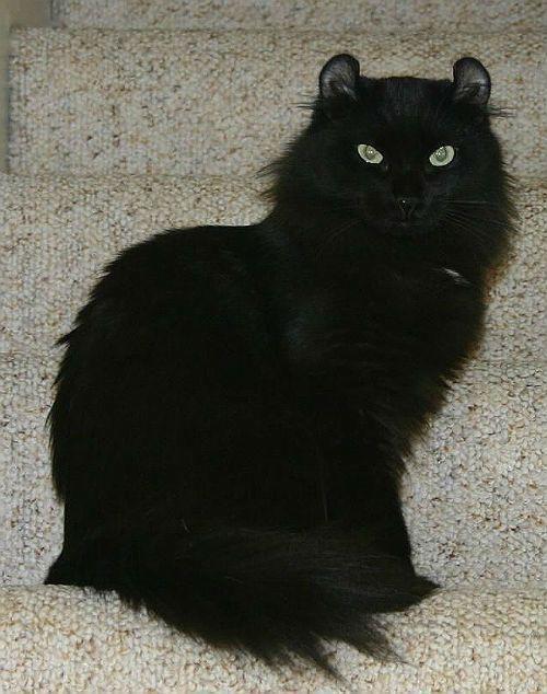 Черная кошка породы американский керл