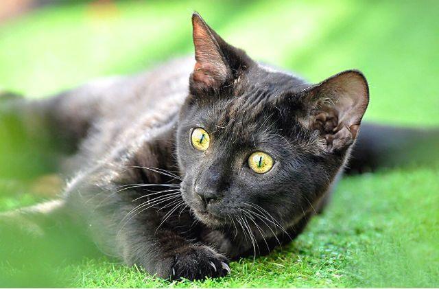 Черная кошка породы бенгал