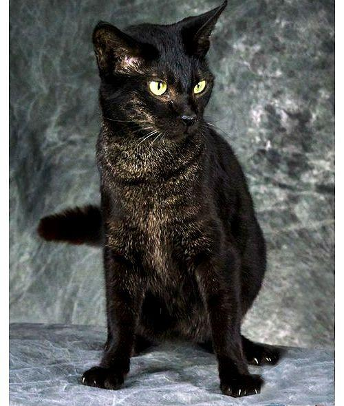 Черная кошка породы чаузи