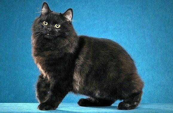 Черная кошка породы кимрик