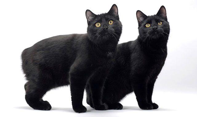 Черная мэнская кошка