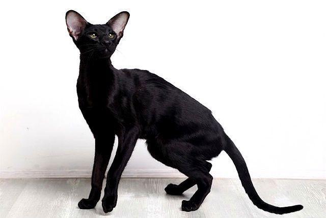 Ориентальная кошка черного окраса