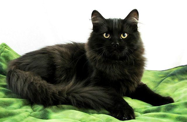 Сибирская кошка черного окраса