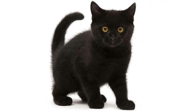 Черные породы кошек - главное фото