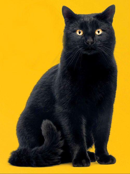 Черная кошка с оранжевыми глазами