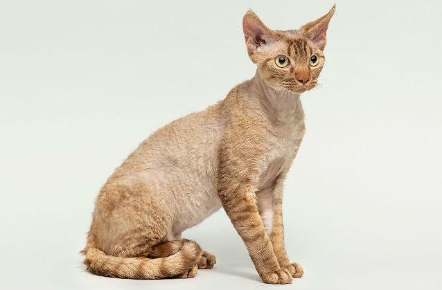 Девон рекс - порода кудрявых кошек