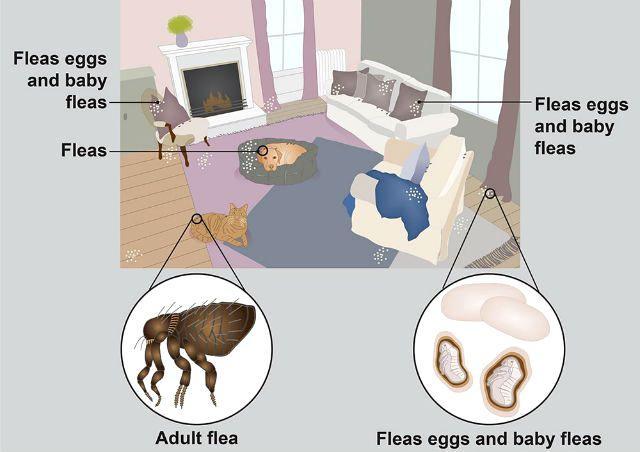 Места обитания блох в квартире