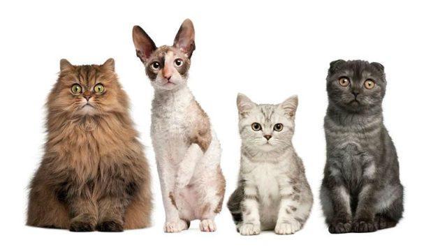 Породы кошек - главное фото