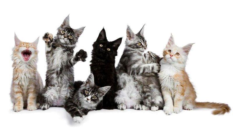 Котята породы мейн-кун - как отличить