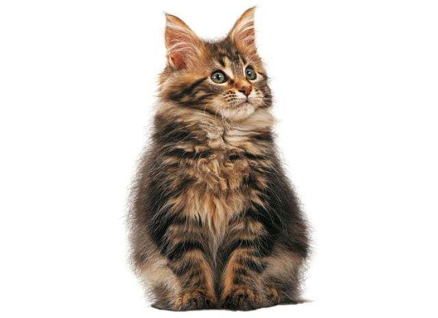 Котенок мейн-кун - отличия