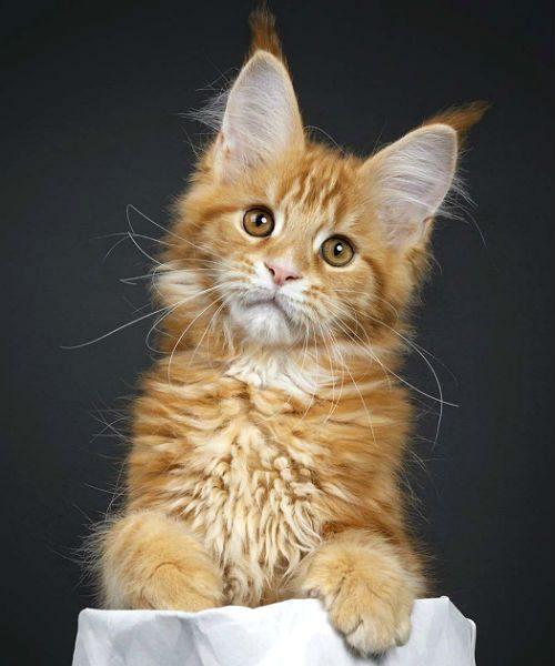 Как отличить котенка мейн-куна