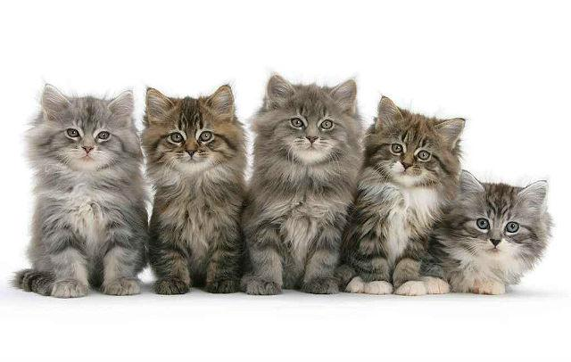 Котята мейн-кун без кисточек на ушах