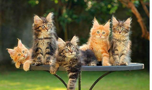 Котята мейн-кун - окрасы шерсти