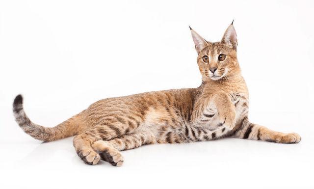 Кошка похожая на рысь - каракет