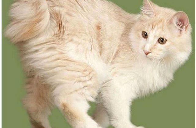 Бесхвостая кошка - карельский бобтейл