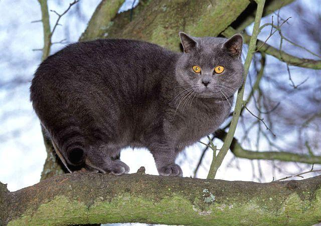 Картезианская кошка - экстерьер