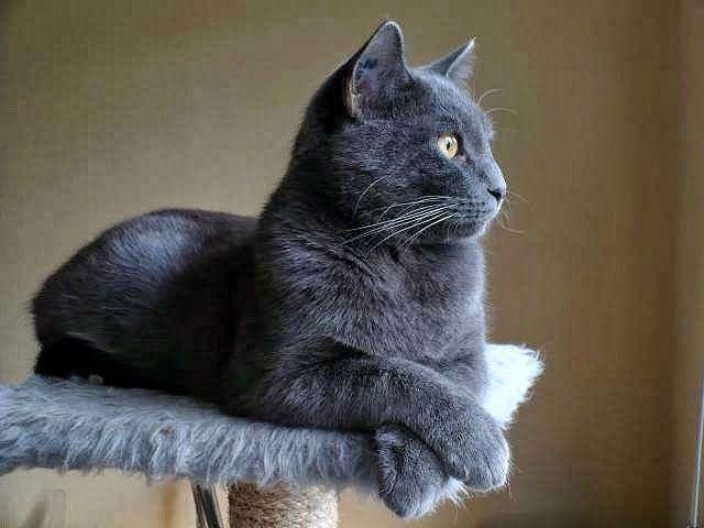 Картезианская кошка на лежанке
