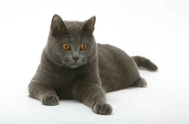 Картезианская кошка - короткошерстная порода