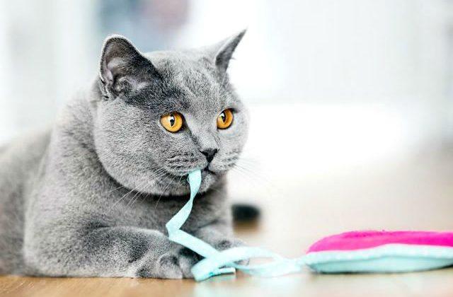 Картезианская кошка - французская порода