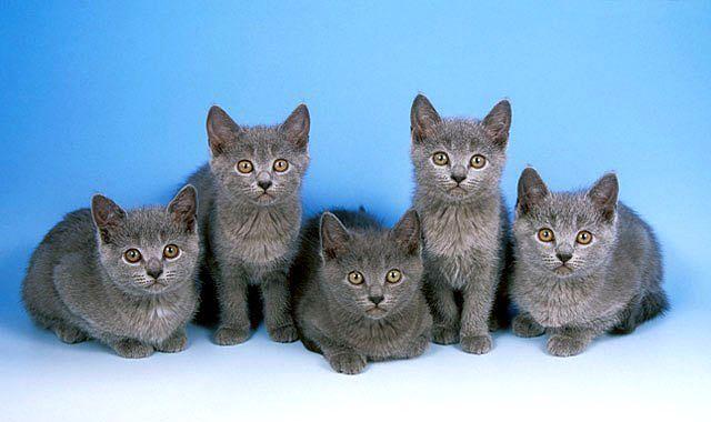 Картезианская порода - котята