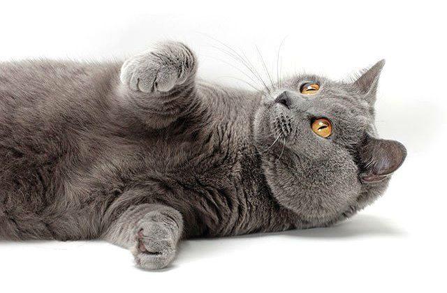 Картезианская кошка лежит