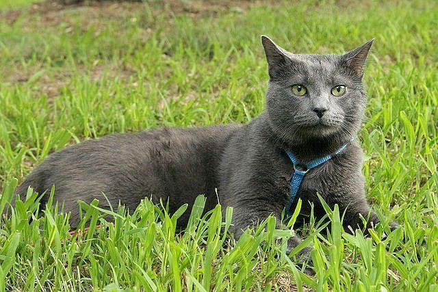 Картезианская кошка на траве