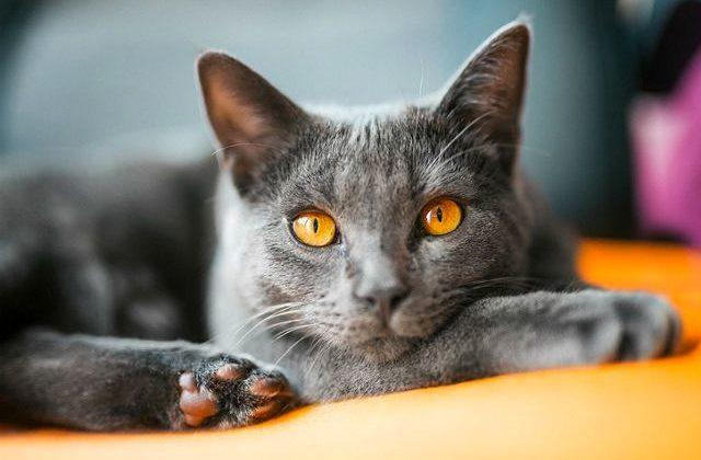 Картезианская кошка - морда