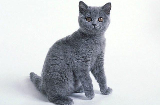 Котенок картезианской породы