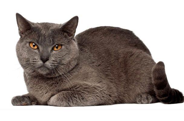 Котик картезианский