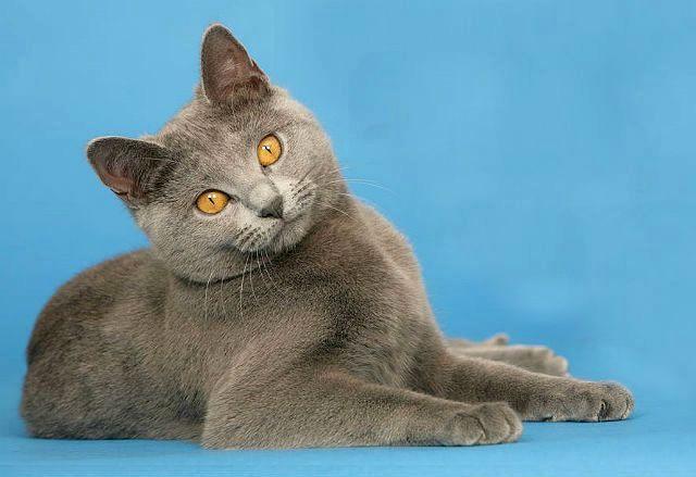 Картезианская кошка с янтарными глазами
