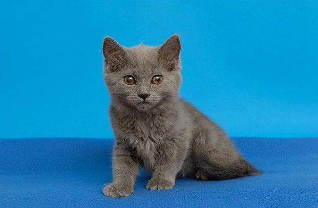 Картезианский котенок на синем фоне