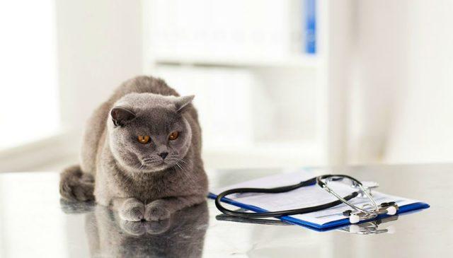 Кастрация британского кота