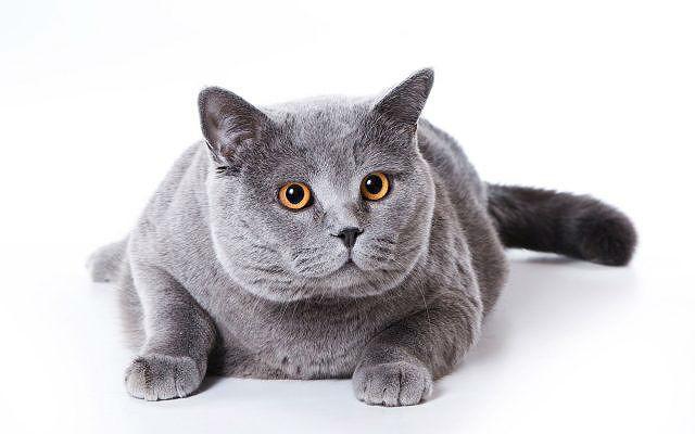 Кастрированный британский кот