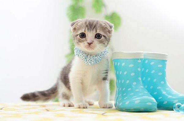 Шотландский вислоухий котенок - подходящие клички