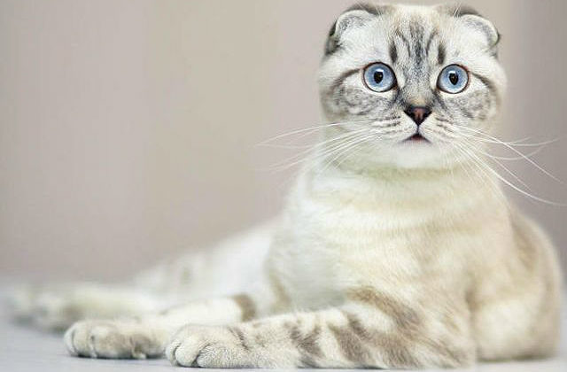 Кличка для шотландской кошки светлого окраса