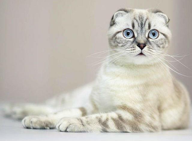 Порода кошек с грустной мордой thumbnail