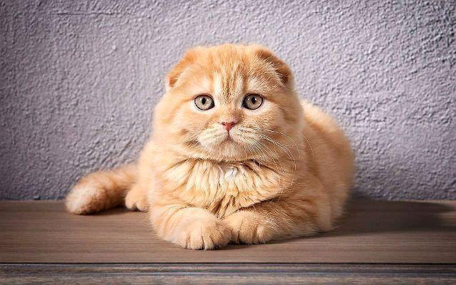 Имена для шотландских вислоухих кошек