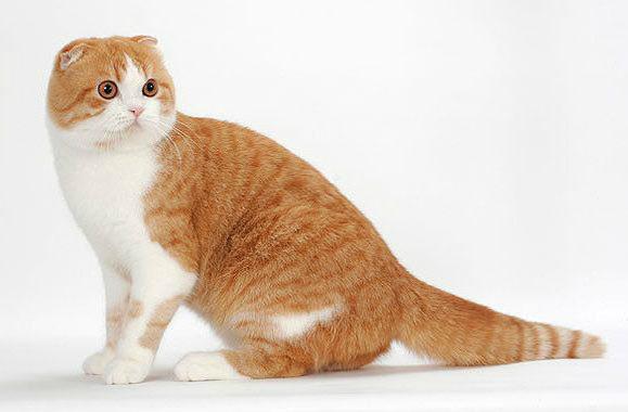 Подходящие клички для шотландской вислоухой кошки