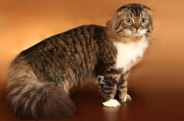 Клички для шотландских вислоухих кошек