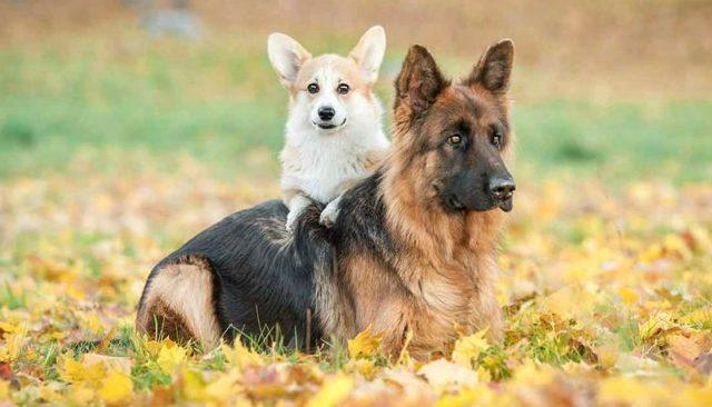 Вельш-корги и немецкая овчарка
