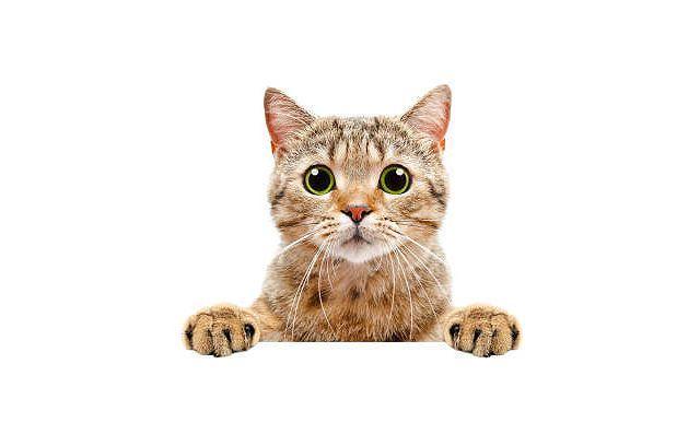 Короткошерстные кошки