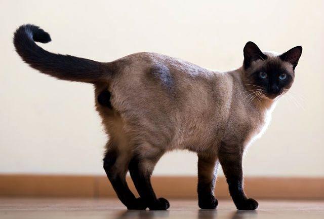 Короткошерстные кошки - сиамская