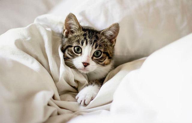 Короткошерстный котенок